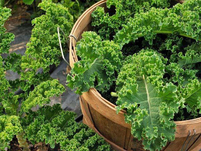 Cách trồng rau cải xoăn kale